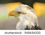 American Bald Eagle   Wild...