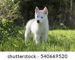 Cute Puppy Siberian Husky On...