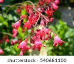 Small photo of Pink flowers of heuchera with velvety petals on burgundy stems, decorative perennial evergreen garden plant with bright flowers and beautiful foliage, also known as alumroot and coral bells