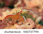 Skunk Cleaner Shrimp  Lysmata...