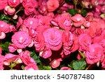 Begonia  Pink Flower  Blossom ...