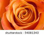 Orange Rose Closeup