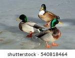 Wild Mallard Swedish Duck Mixe...