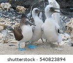 An Adult Blue Footed Booby ...