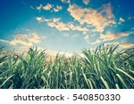 sugar cane with nice sky  ... | Shutterstock . vector #540850330