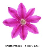 Pink Clematis Isolated