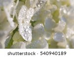 White Flower Petals With Dew...