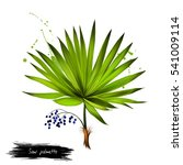 saw palmetto fruit isolated on... | Shutterstock . vector #541009114