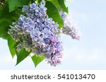branch of lilac flowers with... | Shutterstock . vector #541013470