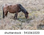 Small photo of Brown grey old rove poor wild horse eats dry grass in reserve Park UK