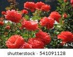 Stock photo red rose garden 541091128