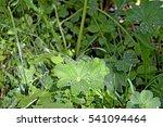 grass decorated dew   Shutterstock . vector #541094464