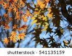 yellow light maple leaf in... | Shutterstock . vector #541135159