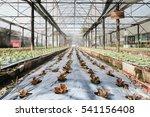 hydroponic vegetables growing... | Shutterstock . vector #541156408
