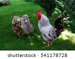Rooster Walking On Green Grass...
