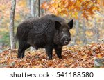 Male Wild Boar In Autumn Forest