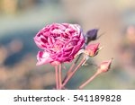 Pink Rose Flower And Leafs...