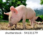 Free living small pigs in a rural landscape - stock photo