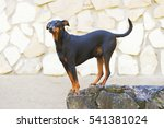 Small photo of Black and tan German Pinscher dog with natural droopy ears staying outdoors on a stone wall