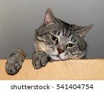 Sad Gray Tabby Cat Looks Out O...