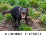 Tasmanian Devil Acting...