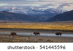 A trio of bison cross the Lamar Valley in Yellowstone National Park, Wyoming.