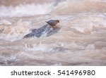 Small photo of American dipper foraging for food in the fast flowing water of the Virgin river in Zion National park Utah.