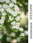 Small photo of spiraea cantoniensis in spring