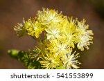 Flowering Linden Trees