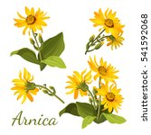 arnica floral composition. set... | Shutterstock .eps vector #541592068