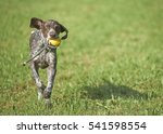 German Shorthaired Pointer  ...
