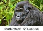 endangered eastern gorilla in... | Shutterstock . vector #541630258