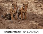 Tiger Cubs Are Sitting On The...