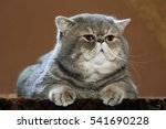 Stock photo a great champion thoroughbred cat 541690228