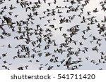 barnacle goose | Shutterstock . vector #541711420