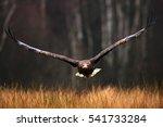 Face Flight  Haliaeetus...