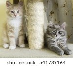 Puppies Of Siberian Cat On The...