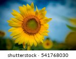 The Sunflowers Farm Blooming O...