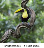 yellow throated toucan perched... | Shutterstock . vector #541851058