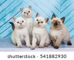 Stock photo scottish kittens 541882930