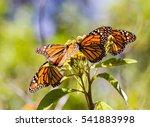 monarch butterflies perform... | Shutterstock . vector #541883998