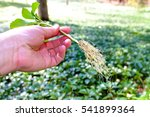 hand holding pachysandra plant... | Shutterstock . vector #541899364