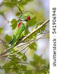 Small photo of Green red Parakeet Alexandrine Parakeet / Psittacula eupatria
