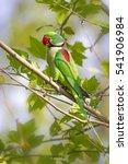 Green Red Parakeet Alexandrine...