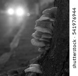 Urban Tree Fungus