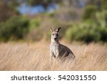 Wild Kangaroo Standing In The...