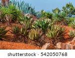 Cactus Landscape. Mexico....