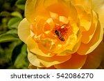 Yellow European Bumblebee On...
