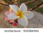 Close Up Of White Frangipani...
