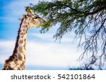 Giraffe Eating Camel Thorn...
